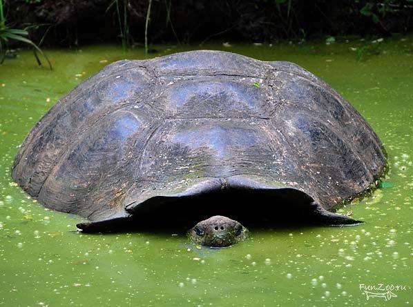 http://galapnature.ru/img/pages/Галапагосская гигантская черепаха