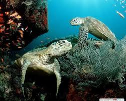 http://galapnature.ru/img/pages/Зеленая Морская Черепаха