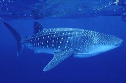 http://galapnature.ru/img/pages/Китовая акула