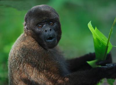 http://galapnature.ru/img/pages/Шерстистая обезьяна Гумбольдта