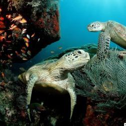 http://galapnature.ru/img/pages/Зеленые морские черепахи