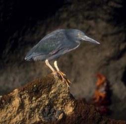 http://galapnature.ru/img/pages/Лавовая цапля – эндемичная птица на Галапагосах